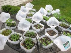 Snow Seed Sowing -- used plastic milk jugs act like mini-greenhouses so seedlings can go outside sooner.