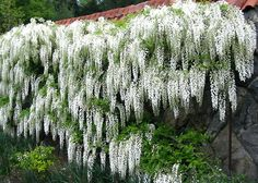 Ohhhhh I'd LOVE My Wisteria to LOOK Like THIS!!! <3