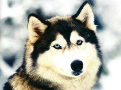"Husky Dog Talking – "" I love you """