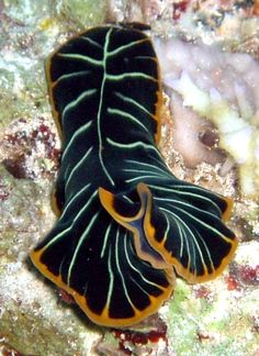 The Sea Slug Forum - Flatworms