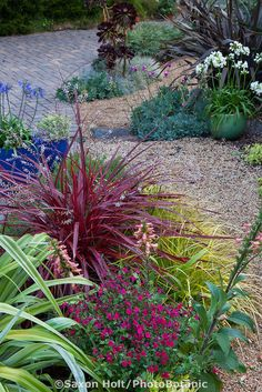 Cordyline 'Design-A-Line' red foliage perennial with red flowering Salvia 'Killer Cranberry' in California garden border; Sunset Plants
