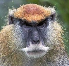 This monkey has a moustache, people. What you got to say?