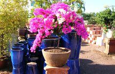 Dwarf Bougainvillea   Tigers Pots & Water Gardens