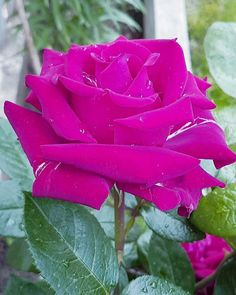 Colorful Roses, Garden Structures, Blooming Flowers, Best Friends Forever, Beautiful Roses, Nature Pictures, Pink Roses, I Am Awesome, Scenery