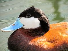 Ruddy Duck at Patuxent Wildlife Research Refuge