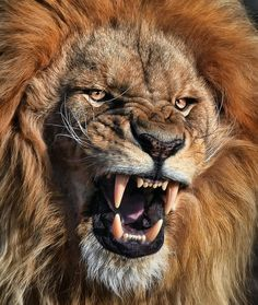 Lions, fierce, but sweet, and I wonder why people poach them.