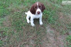 English Springer Spaniel for sale for $850, near Location:Central NJ, New Jersey. 57b95eec-b691