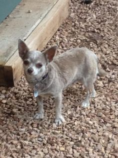 Hi, I'm Sweet Pea. I am a puppy mill survivor! I lived in a horrible puppy mill for 5 years! National Mill Dog Rescue saved my life and rescued me from a puppy mill in Missouri! I now have a wonderful home!