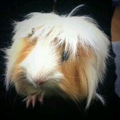 Pinnin zoellas guinea pig !!