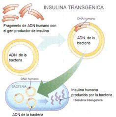 insulina transgenica (biotecnologia )