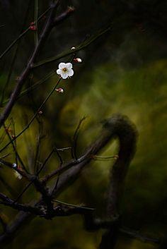 Plum flowers  梅花
