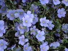 SAPHYR BLUE Flax Seeds Dwarf, 12-15 inch tall      Linum perenne    Dwarf, 12-15 inch tall