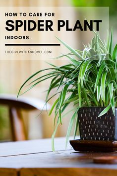 The 3 Keys to Spider Plant Care | The Girl with a Shovel Common Garden Plants, Popular House Plants, Self Watering Pots, All About Plants, Apartment Plants, Plant Guide, Best Indoor Plants, Plant Lighting, Spider Plants