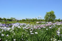あやめ 佐原水生植物園 2014.6