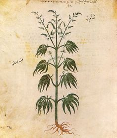 Medieval:  Cannabis sativa. From the Vienna Dioscurides, 6th C.