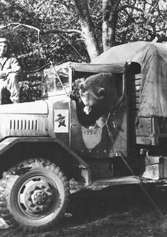 Unit Mascots:  Name: Wojtek Gender: Male Syrian Brown Bear Species: Ursus arctos syriacus Allegiance:  Allies, Poland, II Corps, 22nd Artillery Supply Company Date & Place: 1944, Italy Wojtek earned even a Corporal rank. He had few addictions, like drinking beer, eating cigarettes and wrestling. He also liked sitting in the truck, which was sometimes shocking view for passersby's.