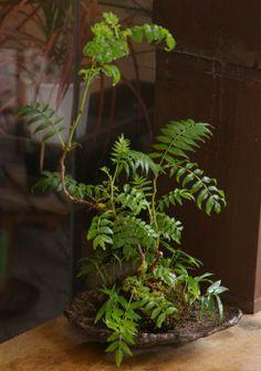 ナナカマド苔玉 20100927