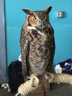 Florida Great Horned Owl [OC] [2448x3264] - http://ift.tt/1N72zGO