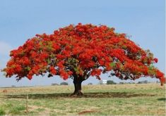 The Royal Poinciana tree (Delonix Regia). This tree can get feet tall, but it's wide spreading umbrella-like canopy can be wider than it's height, a big bonsai. Delonix Regia, Dogwood Trees, Trees And Shrubs, Flowering Trees, Trees To Plant, Unique Trees, Colorful Trees, Palm Tree Pictures, Flame Tree