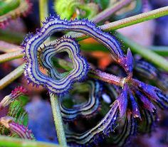 Prickly Caterpillar Beans | 22 Insanely Cool Conversation-Piece Plants For Your Garden