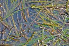 Eel grass; Menemsha Harbor, Martha's Vineyard, Massachusetts, USA.  September 2008.