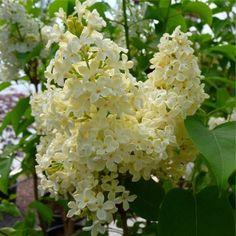 Buy Syringa Vulgaris Primrose | Yellow Lilac Primrose