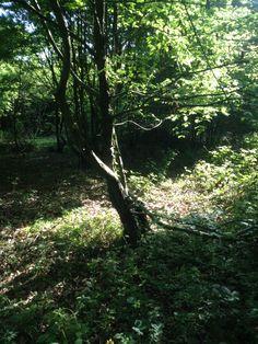 Hazeleigh woods