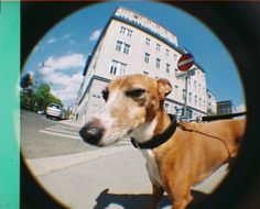 "A suspicious dog! :D hahaa   Taken with the new #Lomography Fisheye Baby 110 by ""corrinska"""