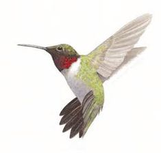 hummingbird drawings - Bing Images