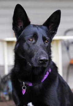 Black German Shepherd Dog #germanshepherd