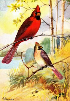 More vintage bird illustrations from The Nature Library, first published in 1917 with illustrations by R.E. Todhunter. Cardinals (fe...