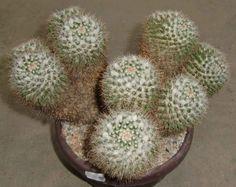 Mammillaria karwinskiana ssp. Nejapensis 055 Planta de Cactus si Astrophytum | eBay