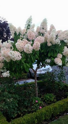 Hydrangea paniculata pinky winky This is not my yard but seen in a friend s neighborhood Of course I want Hydrangea Tree, Hydrangea Garden, Garden Shrubs, Lawn And Garden, Hydrangeas, Limelight Hydrangea, Roses Garden, Green Garden, Hydrangea Landscaping