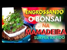🔴COMO ENGROSSAR O  TRONCO DO BONSAI (TÉCNICA DA MAMADEIRA) - Bonsai Curs...
