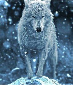 ((Closed RP)) Sapphire: (wolf form) *looking up at the falling snow, then huffing and shaking the wetness off of her fur* Arktischer Wolf, Wolf Love, Beautiful Creatures, Animals Beautiful, Cute Animals, Wolf Spirit, Spirit Animal, Wolf Pictures, Animal Pictures