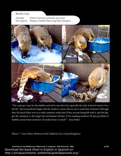 Tactile enrichment - bubble bath.  Download the book (free) Enrichment and Well-Being of Mammals in Captivity in English or Spanish on enriquecimiento-ambiental.gowildpanama.org   Over 250 pages with detailed information and photos on the types and stages of environmental enrichment, plus a chapter on animal rights and animal welfare with tools for measuring animal welfare in captive settings.