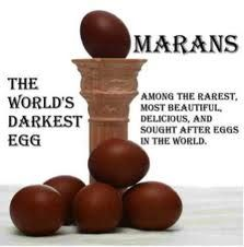 French Black Copper Marans Eggs