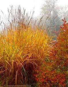 Viburnum trilobum 'JN Select Redwing' and Miscanthus sinensis 'purpurascens' in November ⓒ Michaela at TGE