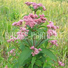 image de Eupatorium maculatum