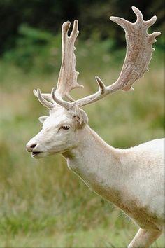 I like animals - albino stag - Amazing Animals, Unusual Animals, Animals Beautiful, Albino Deer, Rare Albino Animals, Especie Animal, Mundo Animal, Melanistic Animals, Fallow Deer