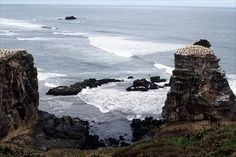 Gannets began breeding at Muriwai in the 1900s. The colony has expanded from Oaia Island, 1.6 kilometres off the coast, to nearby Motutara Island, a rock stack (right). In 1979 the birds also moved to a headland at Otakamiro (left).