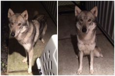 """HOUSTON TX: """"NOELLE,"""" HUSKY-TYPE FEMALE FOUND ON X-MAS NIGHT (on 12.26.13 @ 4:30am) ROAMING IN 3rd WARD NEEDS NO-KILL RESCUE. This beautiful skinny girl was found with no collar or tag and is not microchipped. She is friendly with humans and seems to be fine with other dogs. Sadly, this sweet girl will be headed to BARC on Friday if no one steps up. Please make a Christmas Miracle happen. Text Estelle at 723-927-3985 or via email at Estelle.mack@me.com. Please share far and wide if you…"""