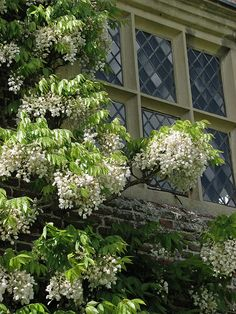 White wisteria, Sissinghurst Castle