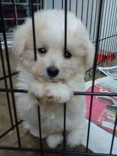 Awwww its a baby bichon frise! Teacup Poodle Puppies, Cute Puppies, Cute Dogs, Dogs And Puppies, Doggies, Yorkie, Bichon Dog, Maltipoo, Cute Baby Animals