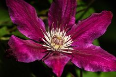 Clematis Bloom by Turner Imaging on 500px
