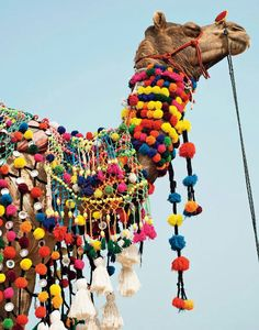 India and a Pom Pom camel