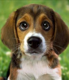 The Beagle Dog: A vet's guide on how to care for your beagle dog written by veterinary expert Gordon Roberts BVSC MRCVS