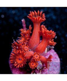 Pet Supplies Fish & Aquariums Methodical Yellow/green Hammer Coral Secret Tank X Euphyllia Parancora Single Head