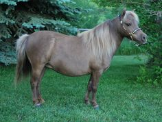 AMHA/AMHR silver smokey black mare Located in Kalispell, MT at Double Tree Miniatures. Please visit: http://doubletreeminiatures.com/ Sales Promotion by Lil Beginnings Miniature Horses