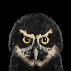 Spectacled Owl http://www.audubon.org/magazine/january-february-2015/whos-who?utm_source=engagement&utm_medium=email&utm_campaign=2015-02-11_email_wingspan